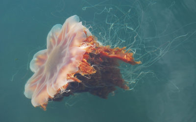 Which Jellyfish to avoid in New Zealand Waters